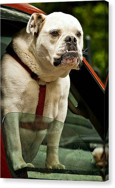 English Bull Dogs Canvas Print - How About Me by Caroline Stella