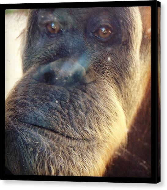 Orangutans Canvas Print - How Can You Not Love These Guys?! by Craig Price