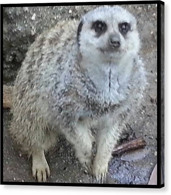 Meerkats Canvas Print - How Could You Not Want To Toss This One by Kevin Previtali