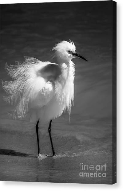 Tampa Bay Rays Canvas Print - How Do I Look- Bw by Marvin Spates