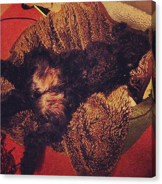 Schnauzers Canvas Print - How I Found Ozzie This Morning! Proper by Laurena Pascoe