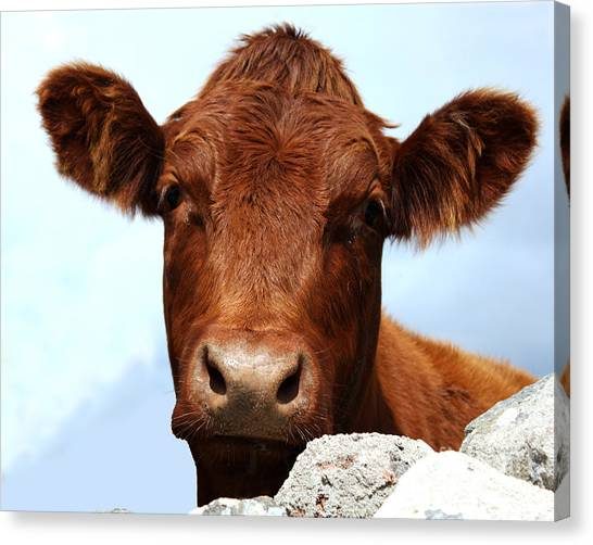 Drywall Canvas Print - How Now Brown Cow by Terri Waters