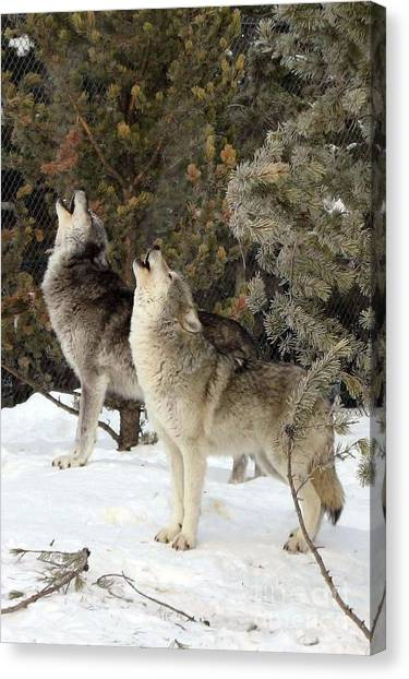 717a Howling Wolves  Canvas Print