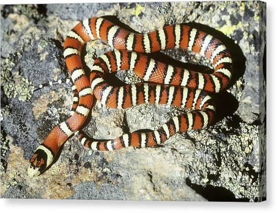 Coral Snakes Canvas Print - Huachuca Mountain Kingsnake by Karl H. Switak