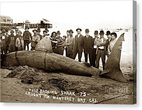 Huge Basking Shark Near Fishermans Wharf Monterey California Circa 1912 Canvas Print