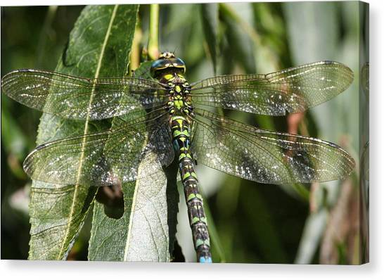 Huge Dragon-fly In Detail. Canvas Print