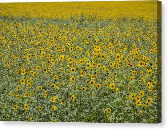 Huge Wild Sunflower Colony Canvas Print