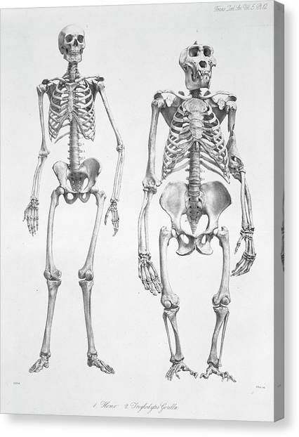 Human And Gorilla Skeletons Canvas Print by Natural History Museum, London/science Photo Library