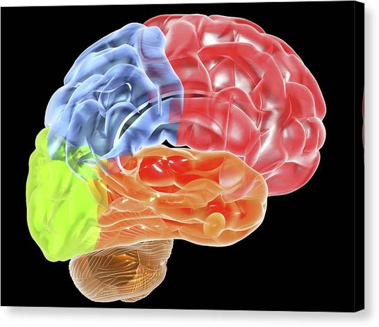 Human Brain Anatomy, Artwork Canvas Print by Pasieka