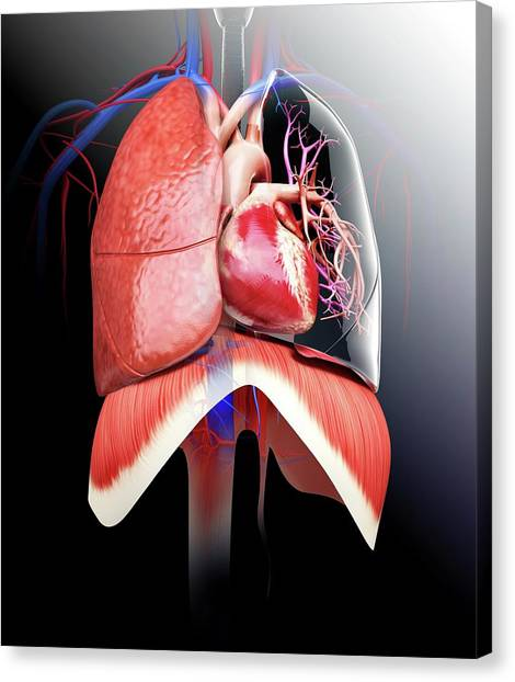 Normal Canvas Print - Human Heart And Lungs by Pixologicstudio