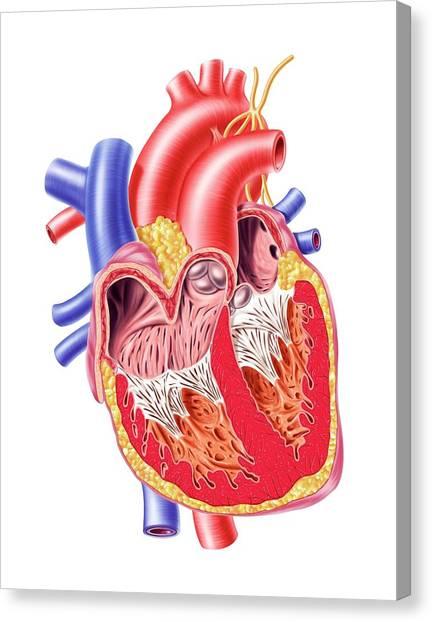 Human Heart, Artwork Canvas Print by Leonello Calvetti