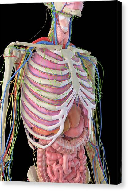 Normal Canvas Print - Human Ribcage And Organs by Sciepro
