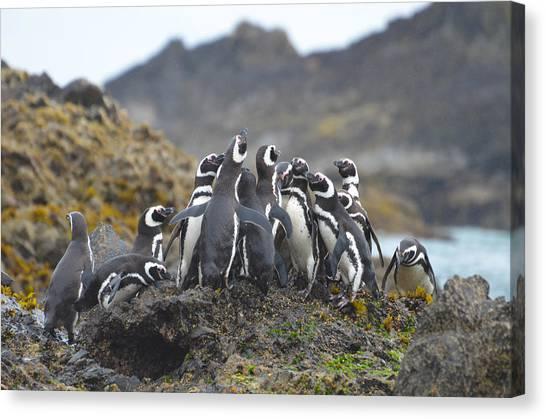 Humboldt Penguins Canvas Print by Eric Dewar