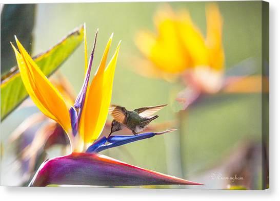 Hummer At Bird Of Paradise Canvas Print