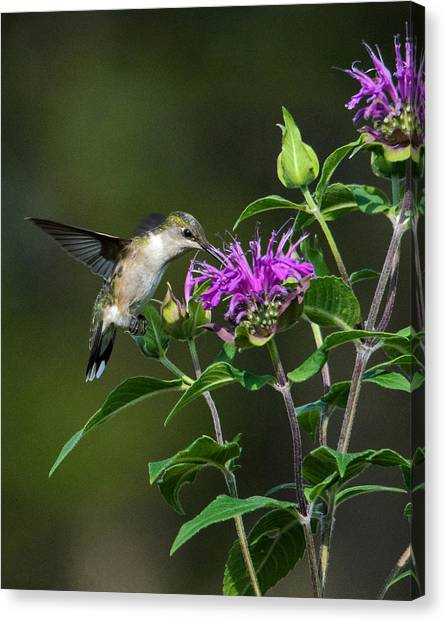 Hummer On Bee Balm Canvas Print