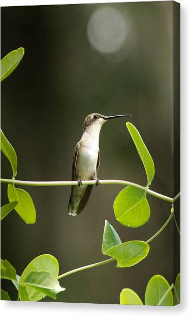 Hummingbirds Canvas Print - Humming Bird Break by Marcela Martinez