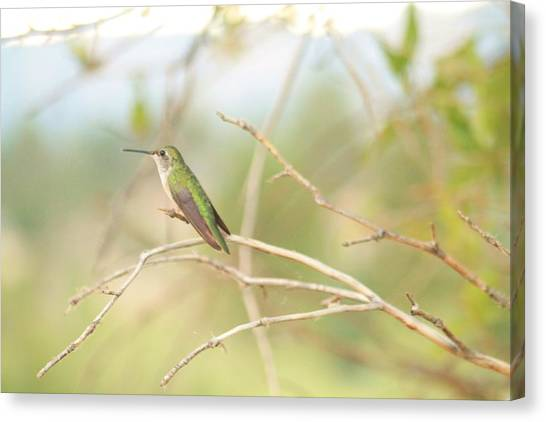Humming Bird Perch Canvas Print