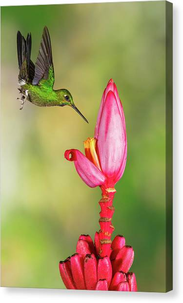 Hummingbird , Green-crowned Brilliant Canvas Print by Kencanning