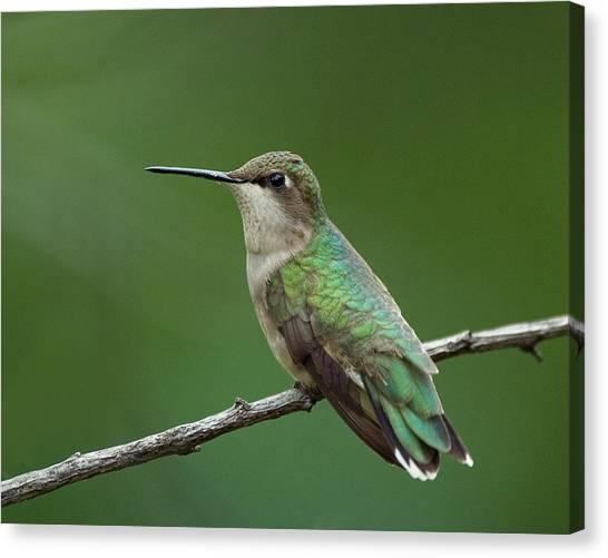Hummingbird At Rest Canvas Print