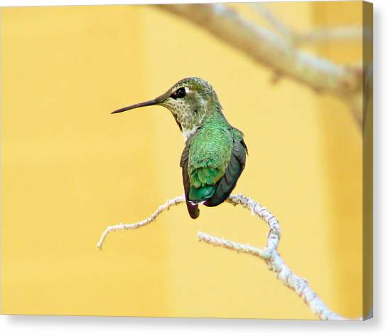 Hummingbird At Rest Canvas Print