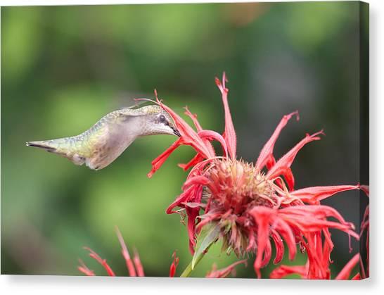 Hummingbird Defying Gravity Canvas Print