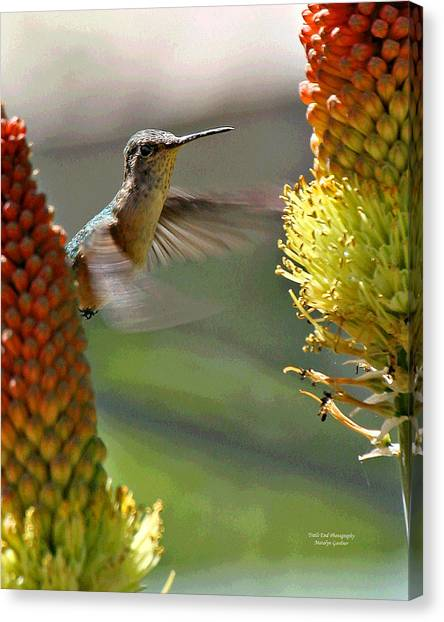 Hummingbird Feeding Canvas Print