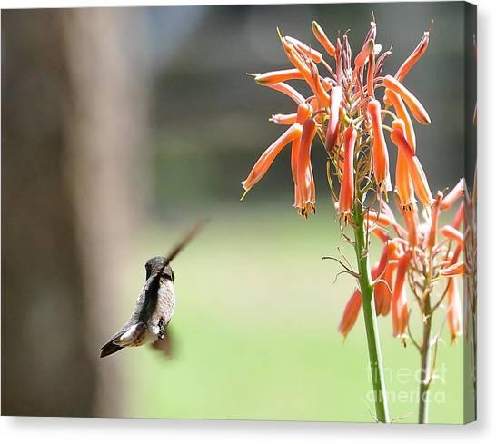 Hummingbird Flight Orange - Change In Path Of Flight Canvas Print by Wayne Nielsen