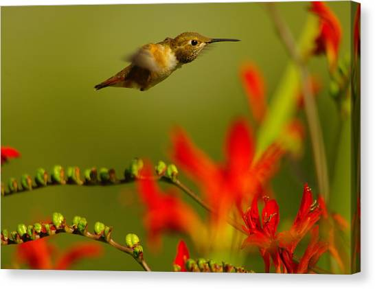 Little Things Canvas Print - Hummingbird In A Rush by Jeff Swan
