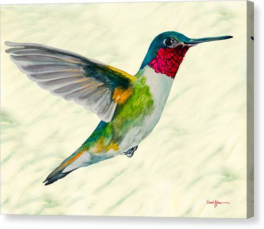 Da103 Broadtail Hummingbird Daniel Adams Canvas Print