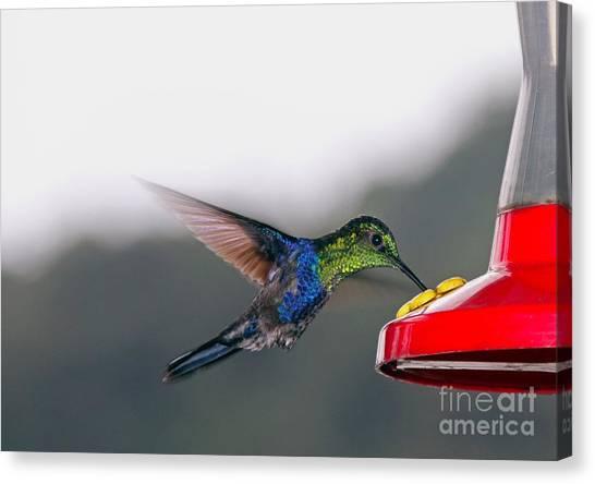 Parrot Fish Canvas Print - Hummingbird by Carey Chen