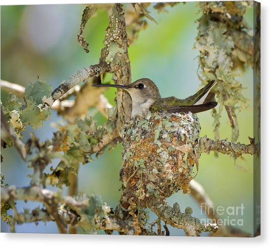 Hummingbird Nesting Canvas Print