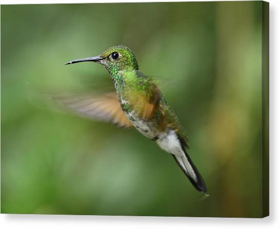 Monteverde Canvas Print - Hummingbird No 2 by Andy-Kim Moeller