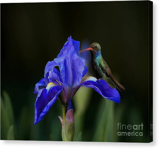Hummingbird On A Mexican Blue Exotic Flower Canvas Print
