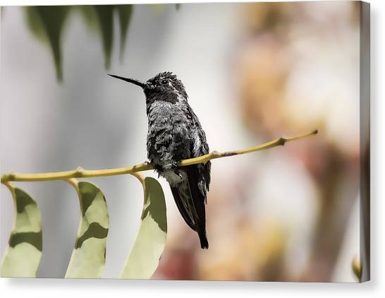 Hummingbird On Branch Canvas Print