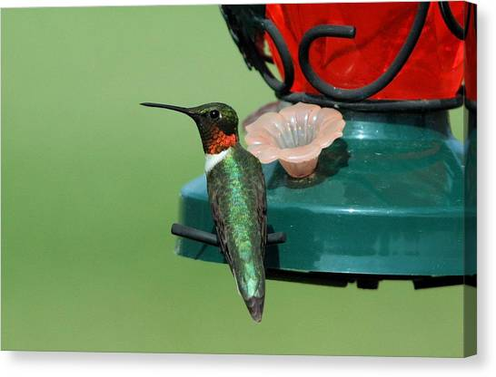Hummingbird On Feeder Canvas Print