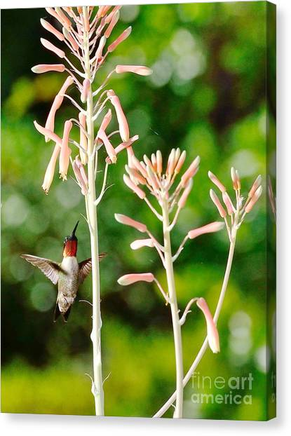 Hummingbird Pink Green - Floating Hummingbird Flashes Red Canvas Print by Wayne Nielsen