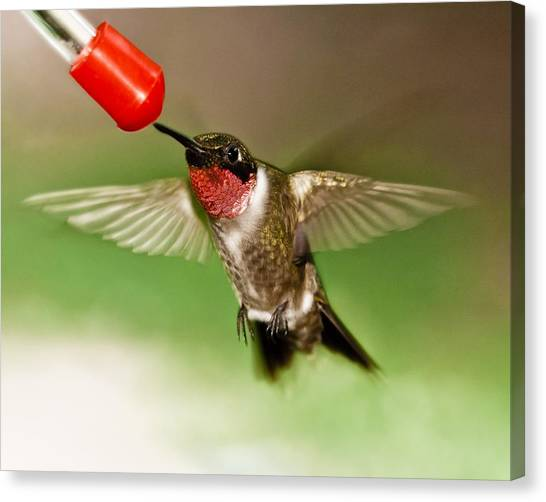Canvas Print featuring the photograph Hummingbird by Robert L Jackson