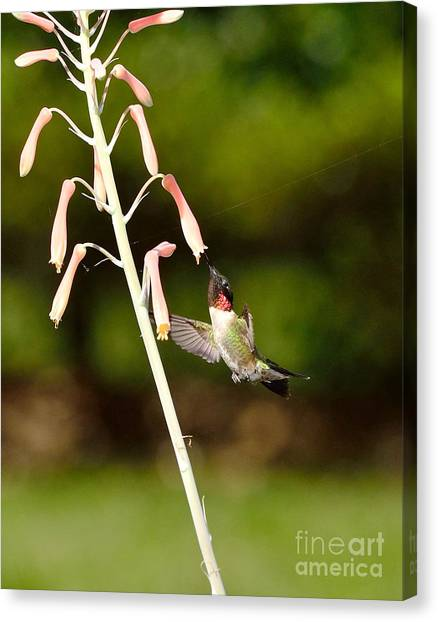 Hummingbird Sips Deep - Arches In Perfect Form Into Trumphet Canvas Print by Wayne Nielsen