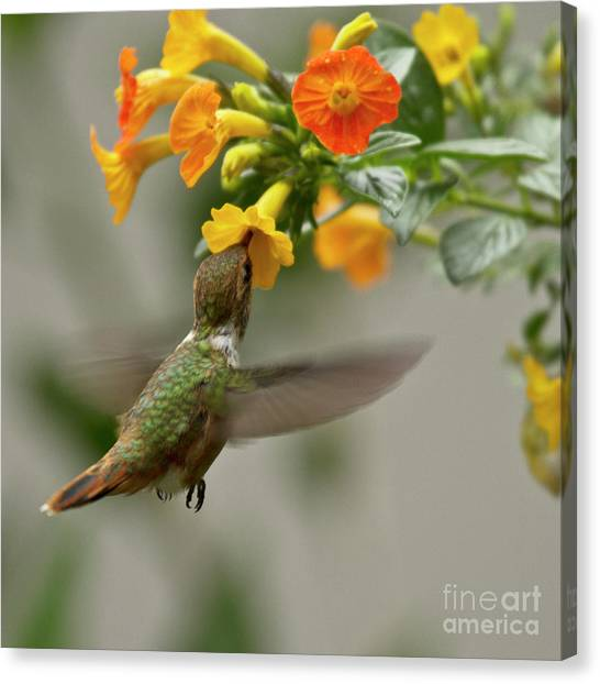 Small Birds Canvas Print - Hummingbird Sips Nectar by Heiko Koehrer-Wagner
