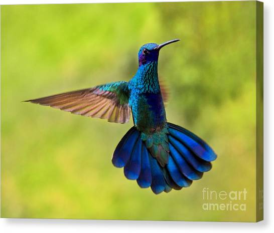 Hummingbird Splendour Canvas Print