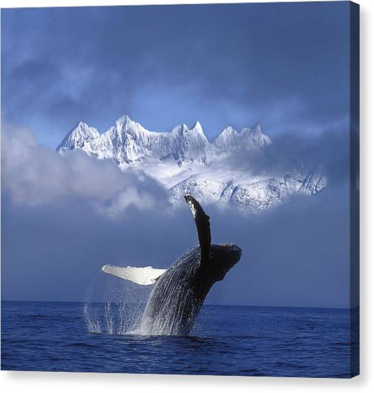 Whale Canvas Print - Humpback Whale Breaches In Clearing Fog by John Hyde