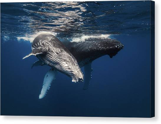 Humpback Whale Family! Canvas Print by Barathieu Gabriel