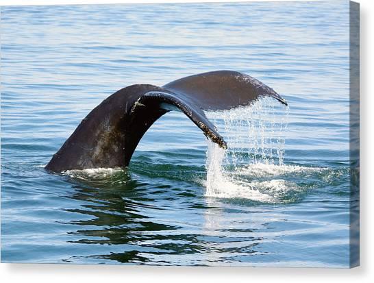 Humpback Whale Fluke. Canvas Print