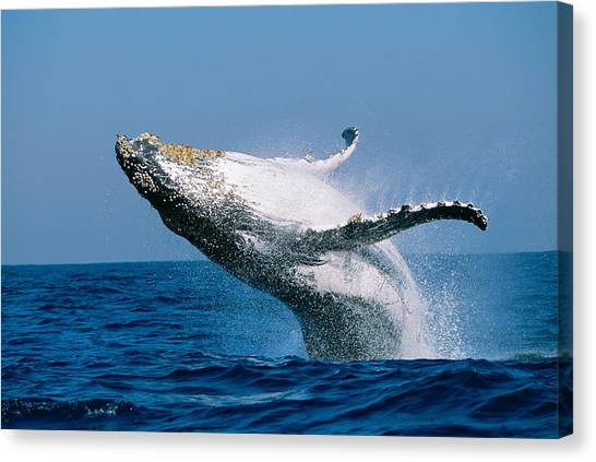 Blue Whales Canvas Print - Humpback Whale Megaptera Novaeangliae by Panoramic Images