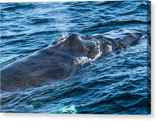 Canvas Print featuring the photograph Humpback Whale Sleeping by Perla Copernik