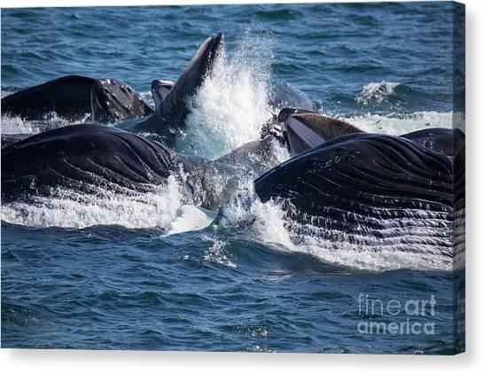 Humpback Whales Feeding Canvas Print