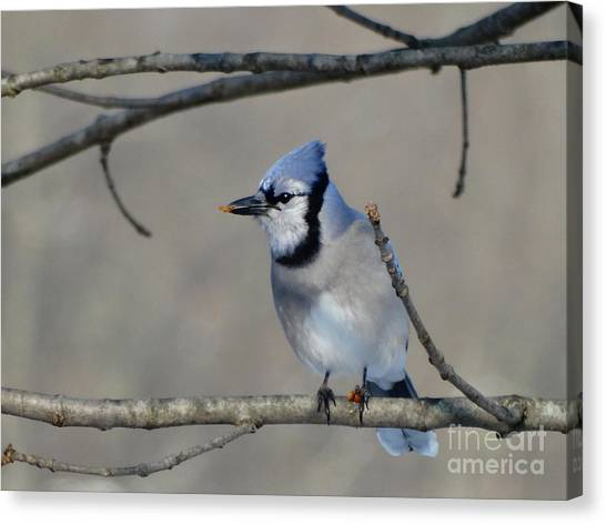 Hungry Blue Jay Canvas Print
