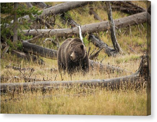 Hungry Grizzly Bear Canvas Print by © J. Bingaman Photography