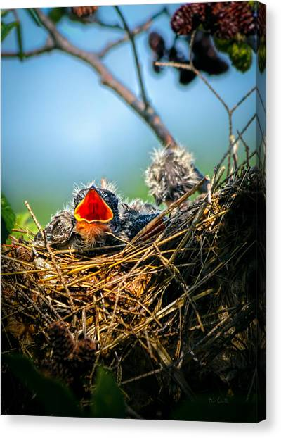 Swallow Canvas Print - Hungry Tree Swallow Fledgling In Nest by Bob Orsillo