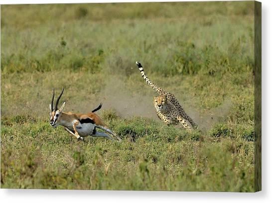 Cheetahs Canvas Print - Hunting by Giuseppe D\\\'amico